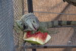 Izod eating watermellon-1