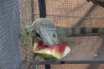 Izod eating watermellon-2